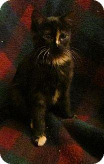 Domestic Shorthair Kitten for adoption in Des Moines, Iowa - Noelle