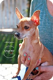 Chihuahua Dog for adoption in Phoenix, Arizona - Blitzen