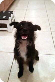 Terrier (Unknown Type, Small) Mix Dog for adoption in Winnetka, California - STITCH