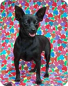 Miniature Pinscher/Chihuahua Mix Dog for adoption in Old Fort, North Carolina - Shana