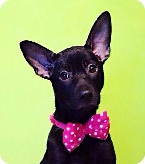 Labrador Retriever Mix Puppy for adoption in Castro Valley, California - Francis