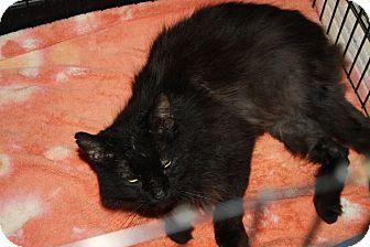 Domestic Mediumhair Cat for adoption in Henderson, North Carolina - Jinx