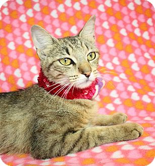 Domestic Shorthair Cat for adoption in Jackson, Michigan - Sissy