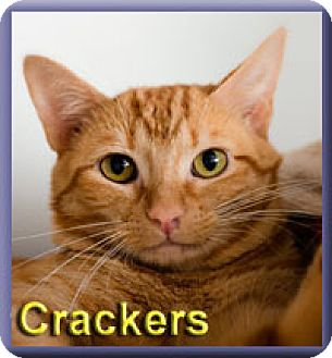 Domestic Shorthair Cat for adoption in Aldie, Virginia - Crackers