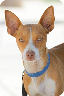 Chihuahua Mix Dog for adoption in Poway, California - PEDRO