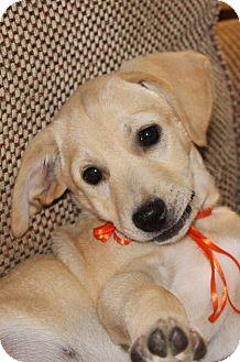 Cocker Spaniel/Beagle Mix Puppy for adoption in Cincinnati, Ohio - Oscar: 10 weeks, Hyden KY