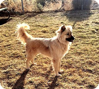 Golden Retriever/German Shepherd Dog Mix Dog for adoption in Crowley Lake, California - Sammy