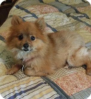 Pomeranian Dog for adoption in conroe, Texas - Kitty