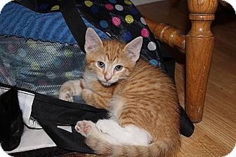 Domestic Shorthair Kitten for adoption in Tampa, Florida - Sanford