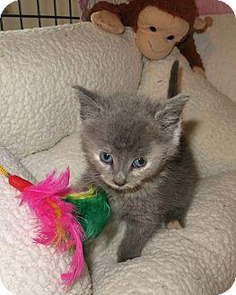 Calico Kitten for adoption in Geneseo, Illinois - Rainbow