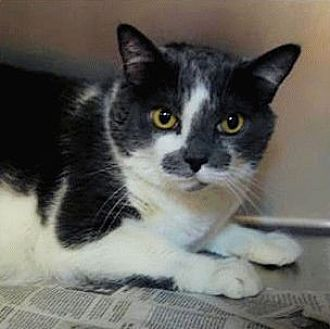 Domestic Shorthair Cat for adoption in El Dorado Hills, California - Sasha