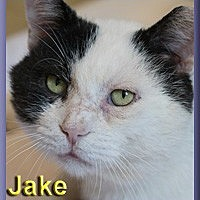 Domestic Shorthair Cat for adoption in Aldie, Virginia - Jake