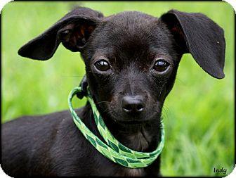 Dachshund Mix Puppy for adoption in Vista, California - Indy