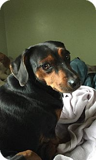 Dachshund/Miniature Pinscher Mix Dog for adoption in Rexford, New York - Moe