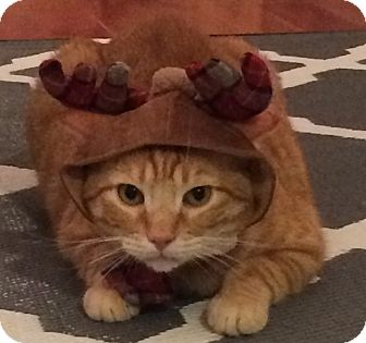 Domestic Shorthair Cat for adoption in New York, New York - GINGERBREAD BOY'16