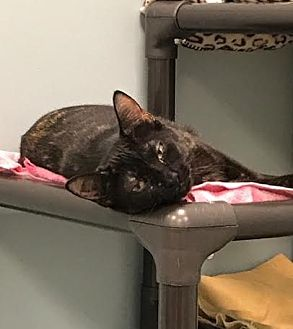 Domestic Shorthair Cat for adoption in Byron Center, Michigan - Clover