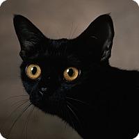 Adopt A Pet :: Cassini - Brockton, MA