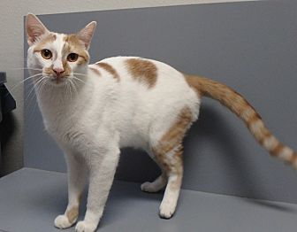 Domestic Shorthair Cat for adoption in Seguin, Texas - Clay