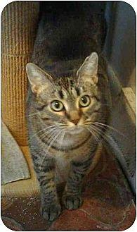 Domestic Mediumhair Cat for adoption in Stuarts Draft, Virginia - Cindy