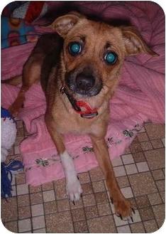 Sheltie, Shetland Sheepdog/Chihuahua Mix Dog for adoption in Honesdale, Pennsylvania - Suzy