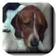 Basset Hound Dog for adoption in Marietta, Georgia - Bob