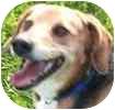 Beagle Mix Dog for adoption in Toronto, Ontario - Sadie