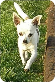 Chihuahua Dog for adoption in Meridian, Idaho - Paco