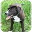 Photo 2 - Labrador Retriever/Basset Hound Mix Dog for adoption in Wyoming, Minnesota - Hattie
