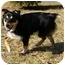 Photo 2 - Sheltie, Shetland Sheepdog/Australian Shepherd Mix Dog for adoption in Mocksville, North Carolina - Nikki