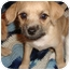 Photo 1 - Chihuahua/Poodle (Miniature) Mix Puppy for adoption in Staunton, Virginia - Little Bit
