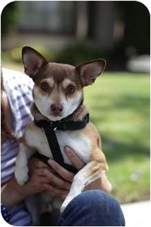 Chihuahua/Terrier (Unknown Type, Small) Mix Dog for adoption in Culver City, California - Peanut, 12lbs, 3 yrs