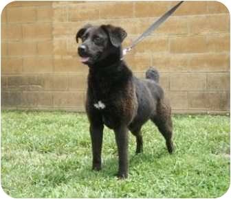 Labrador Retriever/Boxer Mix Dog for adoption in Huntingburg, Indiana - Candi