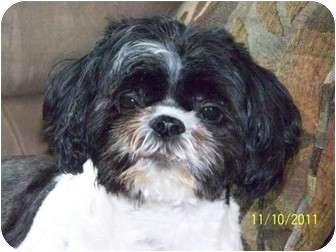 Shih Tzu Mix Dog for adoption in Toronto, Ontario - Ernie