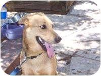 Labrador Retriever/Shepherd (Unknown Type) Mix Dog for adoption in Fair Oaks Ranch, Texas - Tandy