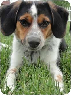 Beagle/Shepherd (Unknown Type) Mix Dog for adoption in Berea, Ohio - Daisy-Courtesy Post