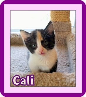 Calico Kitten for adoption in Omaha, Nebraska - Cali