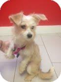 Maltese Mix Dog for adoption in Philadelphia, Pennsylvania - Sparkle