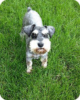Schnauzer (Miniature) Dog for adoption in Salt Lake City, Utah - Jake