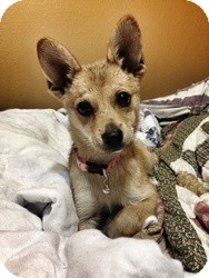 Chihuahua/Pomeranian Mix Puppy for adoption in Kellogg, Minnesota - Callie