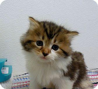 Domestic Mediumhair Kitten for adoption in Sylva, North Carolina - Coco