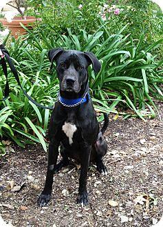 Great Dane/Labrador Retriever Mix Dog for adoption in Mission Viejo, California - Goliath