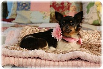 Papillon Mix Dog for adoption in conroe, Texas - Katie