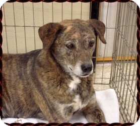 Plott Hound Mix Dog for adoption in Las Vegas, Nevada - Sparky