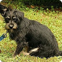 Adopt A Pet :: Lioness - Staunton, VA