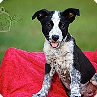 Adopt A Pet :: Stringbean - Albany, NY