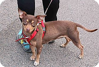Miniature Pinscher Mix Dog for adoption in Winters, California - Minnie