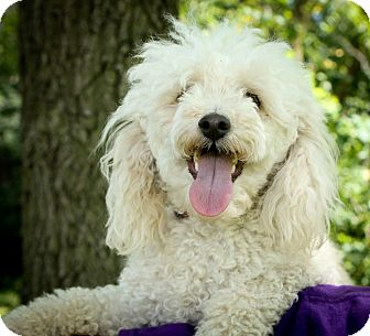Poodle (Toy or Tea Cup)/Poodle (Miniature) Mix Dog for adoption in Anderson, Indiana - Sampson