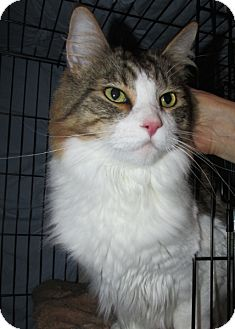 Domestic Longhair Cat for adoption in Colville, Washington - Zip