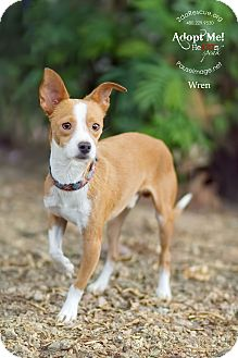 Chihuahua Mix Puppy for adoption in Apache Junction, Arizona - Wren