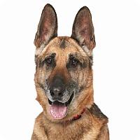 Adopt A Pet :: Captain - Burbank, CA